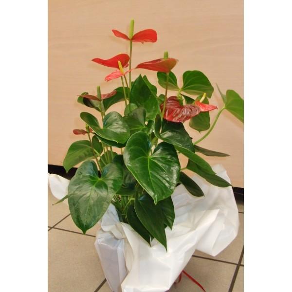 Anthurium nature et fleurs - Initiatives fleurs et nature ...