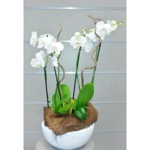 ORCHIDEE PHALAENOPSIS  2
