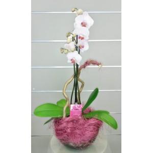 ORCHIDEE PHALAENOPSIS  3